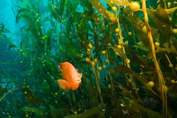 diving-kelp-fish