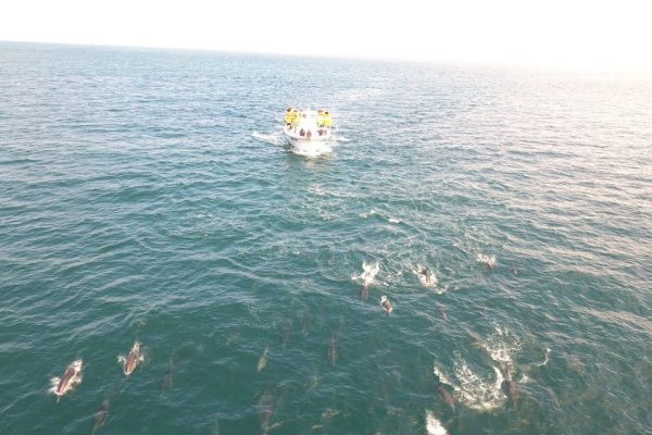 sunfish chasing dolphins off the coast of california