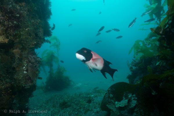 kelp fish