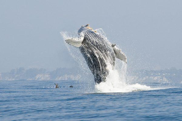 Humpback Whales off the Santa Barbara coast.