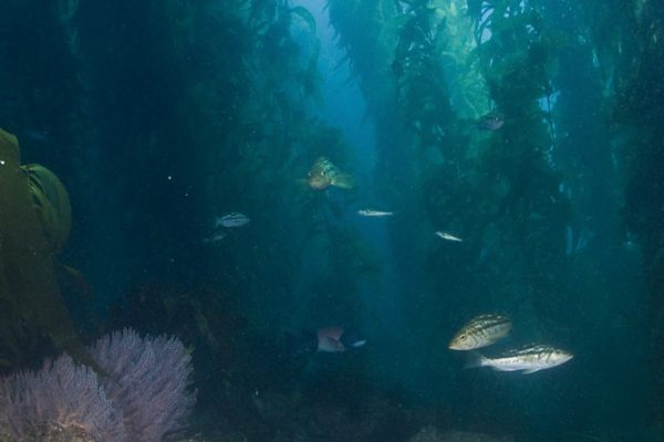 Giant Kelp Forest with fish