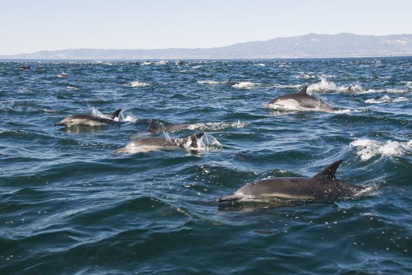 Pod of dolphins at the Channel Islands